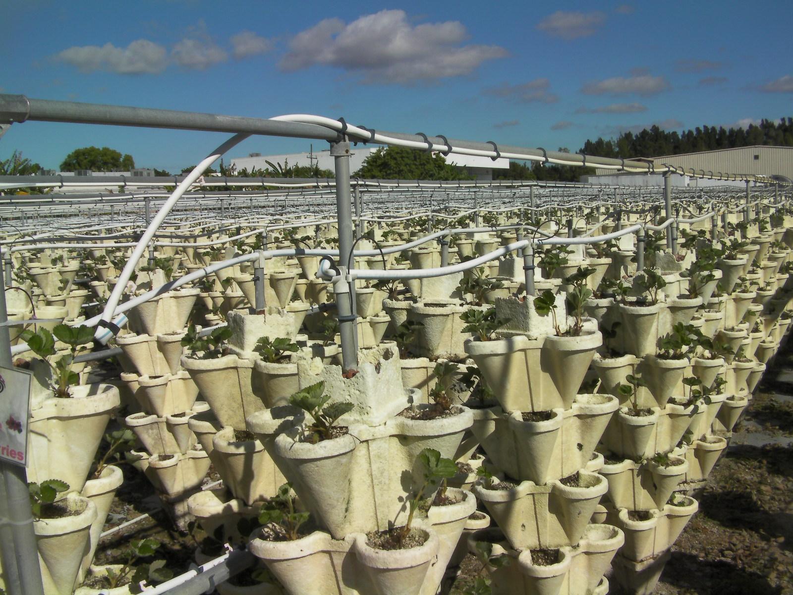 Il museo norton di west palm beach for Vasi per fragole